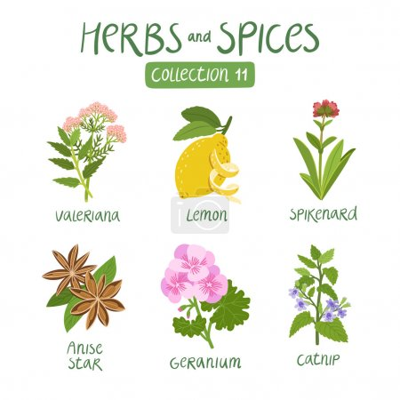 Illustration for Herbs and spices collection 11. For essential oils, ayurvedic medicine - Royalty Free Image