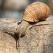Постер, плакат: Snail on the move