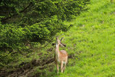 Male Red deer with new horn trying to reach a twig of pine tree