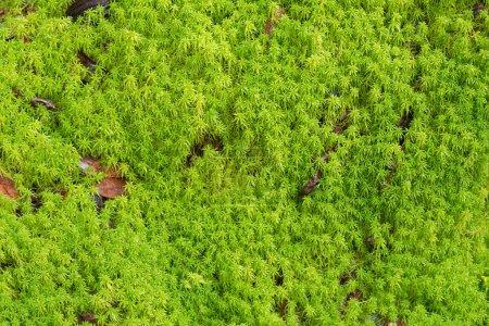 Texture of fresh green Peat moss, Sphagnum Moss gr...