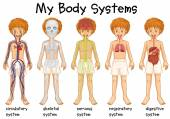 Different system in human