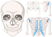 Human skull and other parts of bones illustration