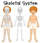 Skeletal system in human boy illustration