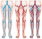 Blood vessels in human legs