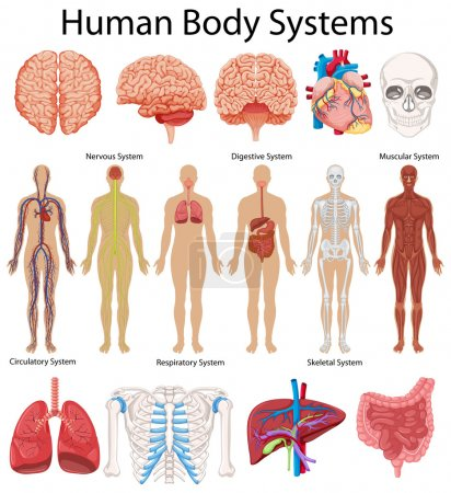 Illustration for Diagram showing human body systems illustration - Royalty Free Image