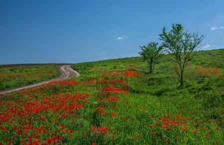 endlose rote Mohnfelder in den Steppen Kasachstans.