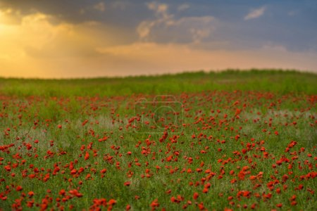 endlose rote Mohnfelder verströmen den magischen Duft des Frühlings