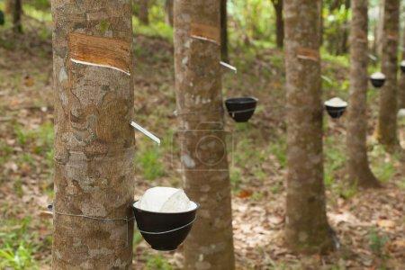 Photo pour Taper le latex d'un arbre à caoutchouc - image libre de droit