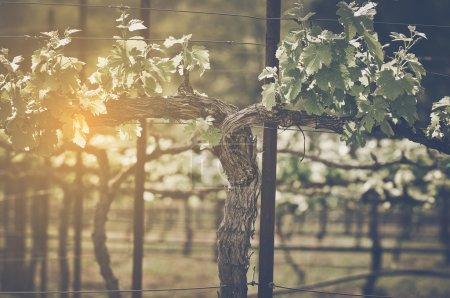 Grape Vine with Vintage Instagram Film Style Filte...