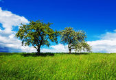 Two apple trees on green meadow