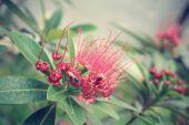 Ročník červený květ