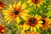 Black-eyed susan fiore