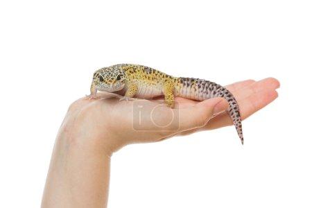 Small lizard on hands