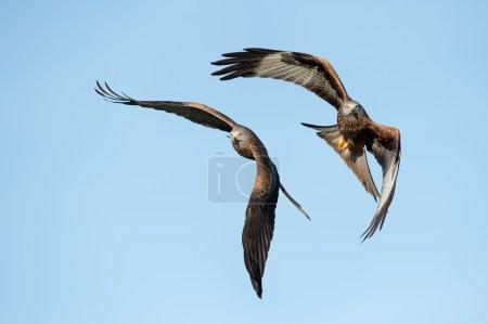 Red Kites (Milvus Milvus)