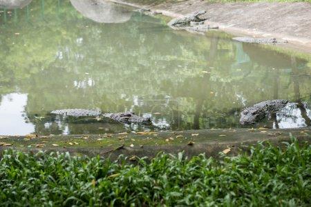 Crocodile in Sanctuary