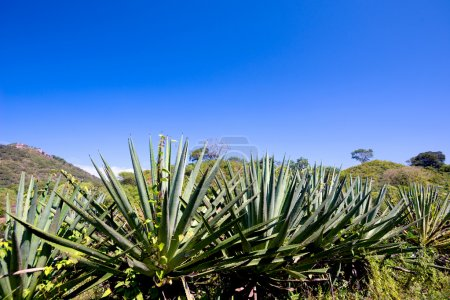 Agave Plants, Mexico