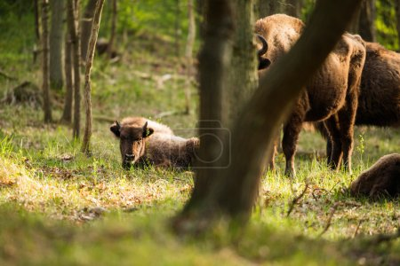 Bison calf lying in grass in spring forest...