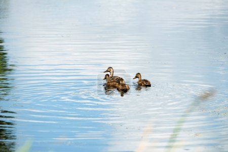 Mother mallard duck with three youngsters