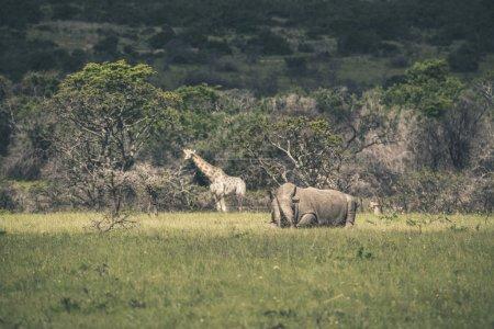 Photo pour Rhino couché dans le champ d'herbe. Réserve de gibier Mpongo. Afrique du Sud . - image libre de droit