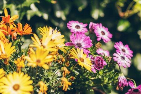 Barberton daisies or Gerbera