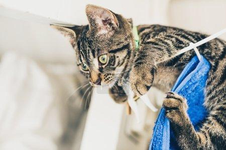Curious gray tabby kitten