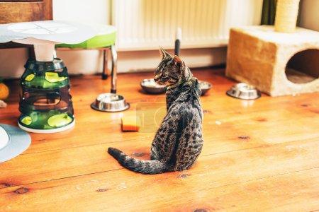 Hungry grey tabby cat
