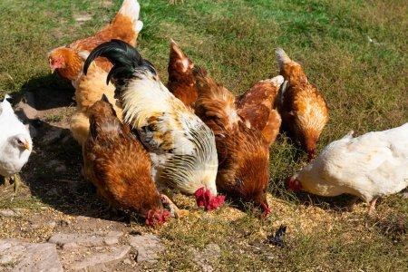 Troupeau de poules domestiques et pâturage de coqs sur la ferme rurale. Alimentation des volailles
