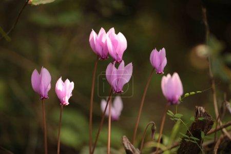 Photo pour Cyclamen cyclamens fleurs dans la forêt fermer fond sombre - image libre de droit