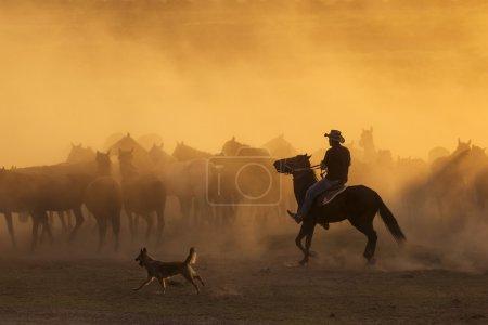 Western cowboys riding horses, roping wild horse