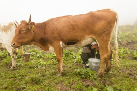Traditional way of milking the cow