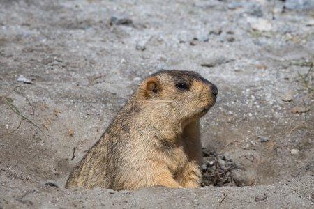 Funny marmot in nature. Ladakh, India
