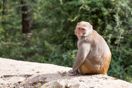 Photo for Macaque monkey in Mcleod Ganj, Dharamsala, India. - Royalty Free Image
