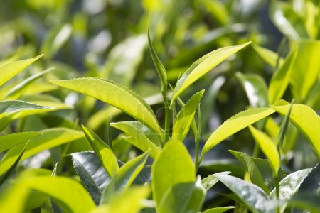 Young green leaves & leaf bud of the tea tree on plantation in Nuwara Eliya, Sri Lanka