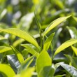 Young green leaves & leaf bud of the tea tree on p...