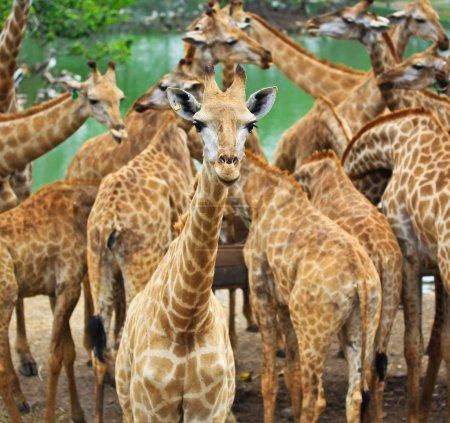 Photo pour Animal sauvage girafe au zoo. - image libre de droit