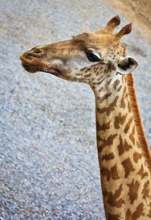 Photo for Giraffe animal at the zoo close up - Royalty Free Image