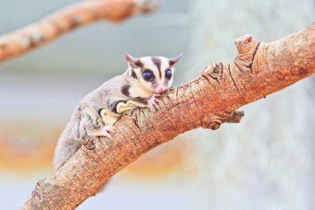 Photo pour Jolie planeur à sucre sur branche d'arbre - image libre de droit