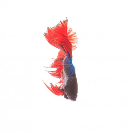 siamese fighting fish on black