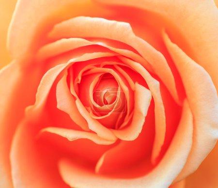 Photo pour Belles roses dans le jardin - image libre de droit