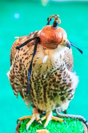 Photo pour Un faucon à queue rousse (Buteo jamaicensis) couvert d'un masque de fauconnerie - image libre de droit