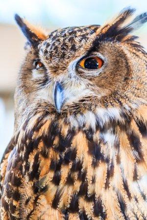 Eagle Owl (Eurasian eagle owl)