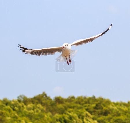 Seagull bird  on migration