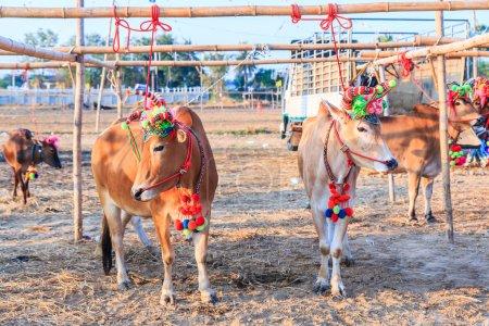 Annual fair beautiful cow contest