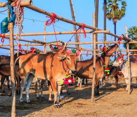 Annual fair beautiful cow contes