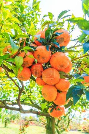 Orange tree in Farm