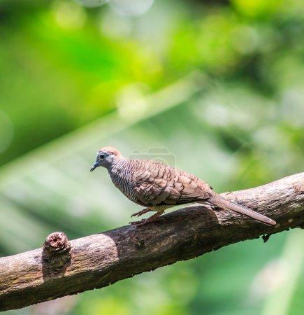Beautiful  Zebra Dove bird
