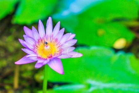 Photo pour Belle fleur de lotus - image libre de droit