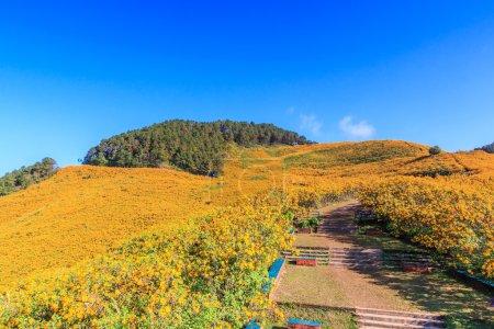 Photo pour Fleur de nature paysage (tournesol mexicain) dans la Province de Maehongson - image libre de droit