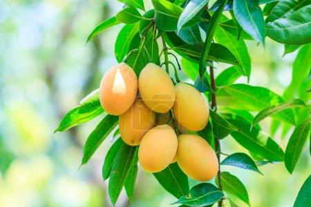 Plum Mango fruits