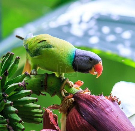 Photo pour Perroquet vert mangeant une banane - image libre de droit